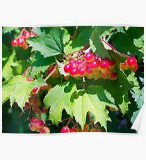 The leaves and unripe berries guelder viburnum opulus Poster