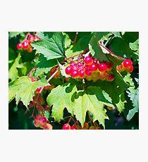 The leaves and unripe berries guelder viburnum opulus Photographic Print