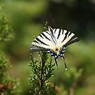 Butterfly by Ana Belaj