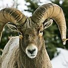 Big Critters in Yellowstone by Ken McElroy