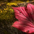 Red Autumn Leaf by IanMcGregor