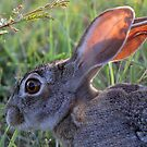 A Scrub Hare in daylight! by Anthony Goldman
