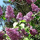 Yorgo - Lilac by branko stanic
