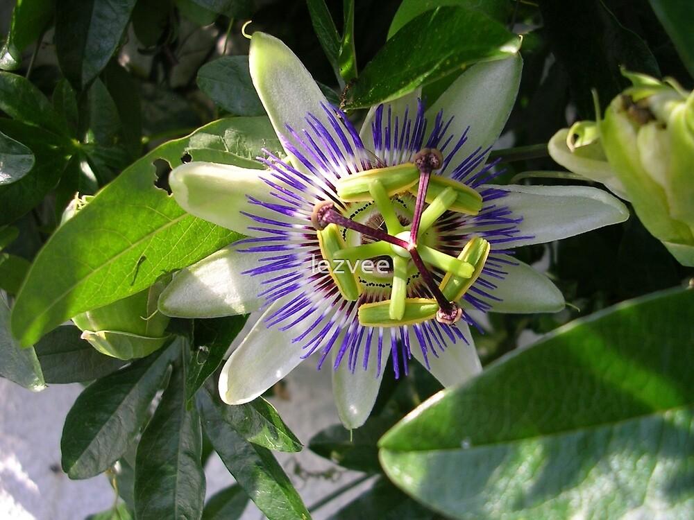 Passiflora by lezvee