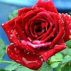 Raindrops on Roses.......... Dorset UK by lynn carter