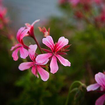 Pink Geranium by cmariephoto