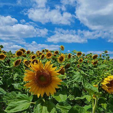 Sunflower Field by danimariex
