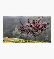 Apple Blossoms - Looking Back at the Beauty of Spring Photographic Print