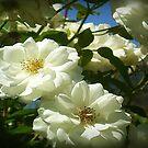 Bridal White at State Rose Garden-Spring 2009 by EdsMum