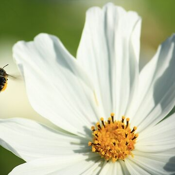 Bee and white flower by aleksandria