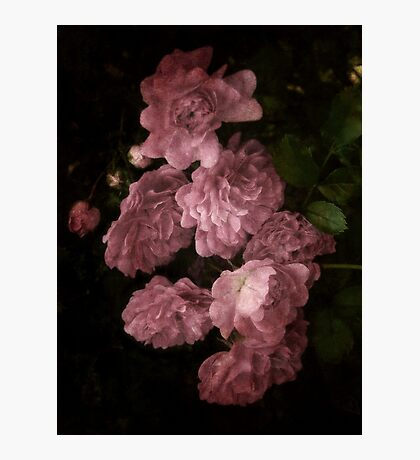 An Abundance of Roses Photographic Print