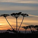 Umbellifers at sunset by Jax Blunt