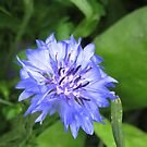 Blue cornflower close up by Jax Blunt