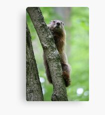 Groundhog in a Tree Canvas Print