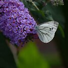 Large white butterfly on lilac by Jax Blunt