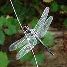 SLATY DRAGONFLY ON SILVER WINGS by May Lattanzio