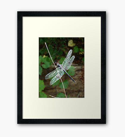 SLATY DRAGONFLY ON SILVER WINGS Framed Print