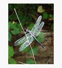 SLATY DRAGONFLY ON SILVER WINGS Photographic Print