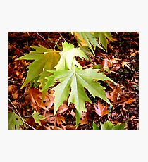 Acer leaves Photographic Print