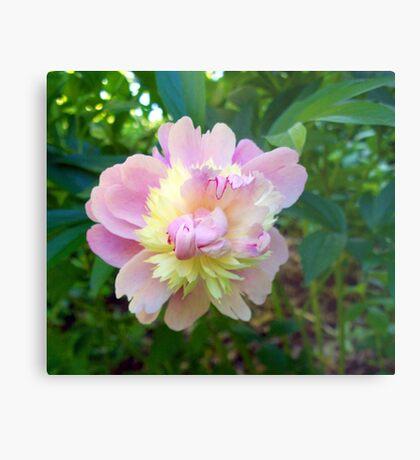 Spring Pinks - Raspberry Sorbet Peony 2 Metal Print
