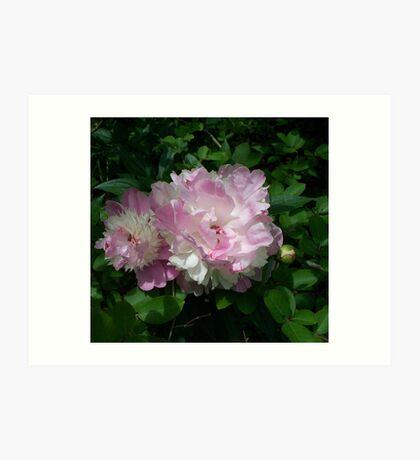 Spring Pinks - Raspberry Sorbet Peony 5 Art Print