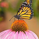 Monarch Butterfly on a Purple Coneflower by Jeff Goulden