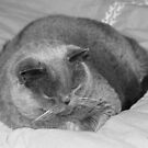 British Shorthair Cat ~ Snoozing by SummerJade
