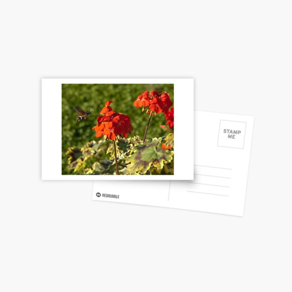 Hummingbird Hawk Moth, Piazza Walther Garden, Bolzano/Bozen, Italy Postcard