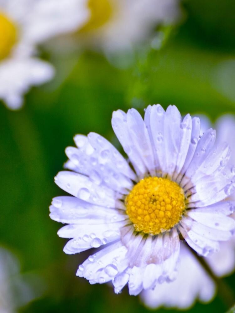 Daisy Rain by InspiraImage