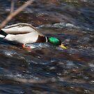 Surfer Duck, Talvera River, Bolzano/Bozen, Italy by L Lee McIntyre