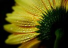 Gerbera daisy by Ingrid Beddoes