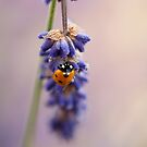 Lavender and Ladybird by John Edwards