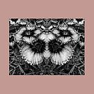 Dianthus Black and White Butterfly by Dorothy Berry-Lound