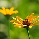Golden Sunned Flowers by Robin Clifton