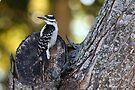Juvenille Hairy Woodpecker - Male, Picoides villosus by Lynda   McDonald