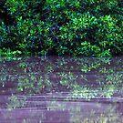 Mangrove reflections by Robert Ashdown