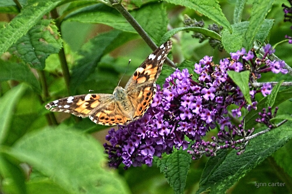 Painted Lady Butterfly by lynn carter