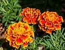 Three Marigolds by DPalmer