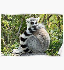 Ring angebundener Lemur Poster