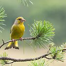 Greenfinch by M S Photography/Art