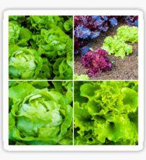 Photo collage of fresh lettuce plants Sticker