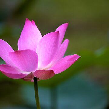 Lotus Love by kausthub