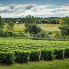 Afternoon in a Vineyard by Johanne Brunet