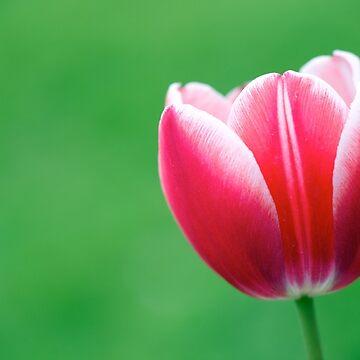 Tulip  by kausthub