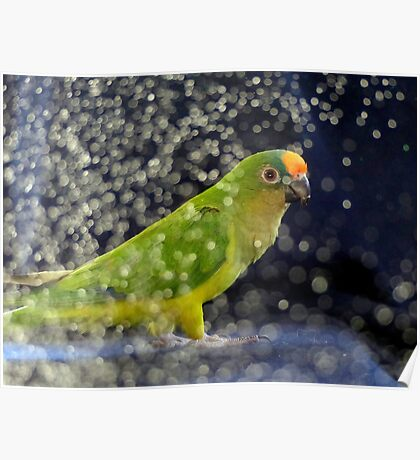This Photo Shoot Is Fun - Peach-Fronted Conure - NZ Poster
