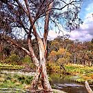 Gum Tree By The Billabong by wallarooimages