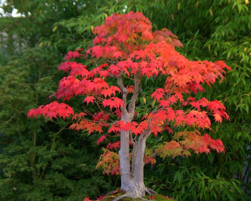 Bonsai Autumn by John Thurgood