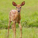 Fawn Memories - White-tailed deer by Jim Cumming