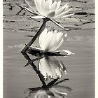 African Water Lillys On The Chobe River by Robert Kelch, M.D.