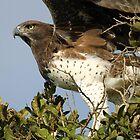 Martial Eagle Pre-Flight by Anthony Goldman